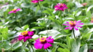 Violet Zinnia Flowers video