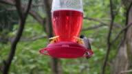 Violet-crowned Hummingbird (HD) video