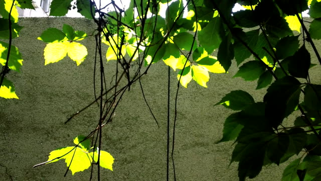 virginia creeper in the summer. video