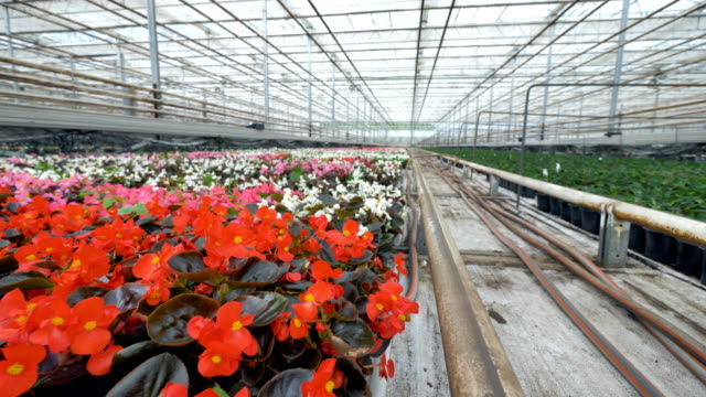 Vivid multicolored flowers in a big greenhouse. 4K. video