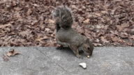 Voice of a squirrel video