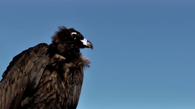 Vulture Aegyptius Monachus close up. video
