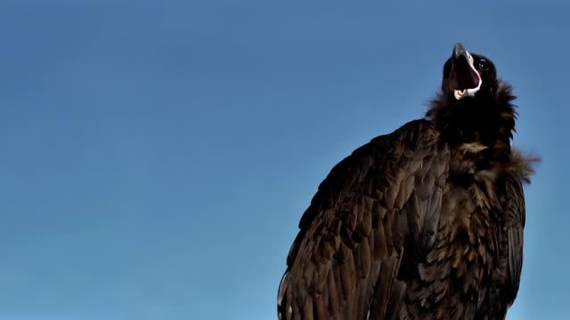 Vulture Aegyptius Monachus yawn close up. video