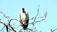 Vulture on tree video