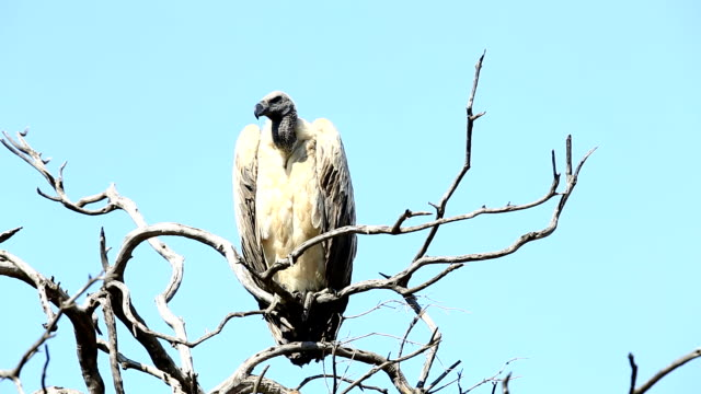 Vulture on tree video