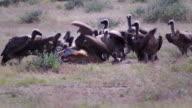 Vultures feeding on a springbok video