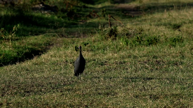 Vulturine Guineafowl video