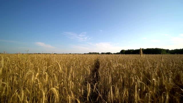 Walk along a narrow path through a golden wheat field towards the forest. video