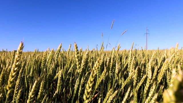 Walk along a wheat field. Wheat born a tall and thick video