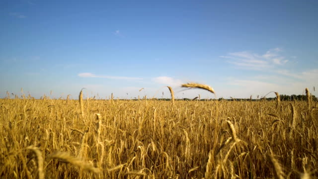 Walk along the golden wheat field towards the forest. Blue sky. video