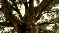 Walk around a big tree while look up to its branches - gimbal steadicam HD video footage video