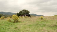 Walk in outdoor nature toward beautiful tree with horses in overcast day - gimbal steadicam HD video footage video