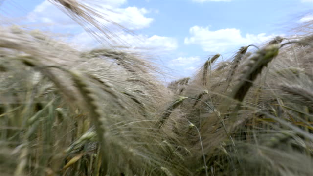 Walk in the wheat field summer time with the sky on the background video