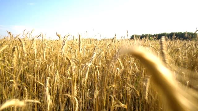 Walk through the golden wheat field. Close-up of spikelets. video