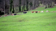 Walking cows in the pasture video
