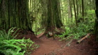 Walking Down a Path Giant Redwood Trees video