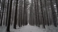 Walking down trail through fresh snow between lines of perfectly straight pine trees.  Ronin Stabilized video
