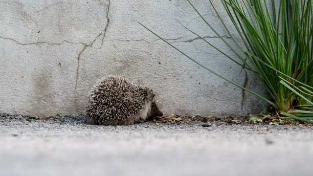 walking hedgehog baby video
