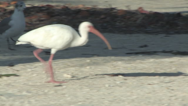 Walking ibis 1 - HD 30F video