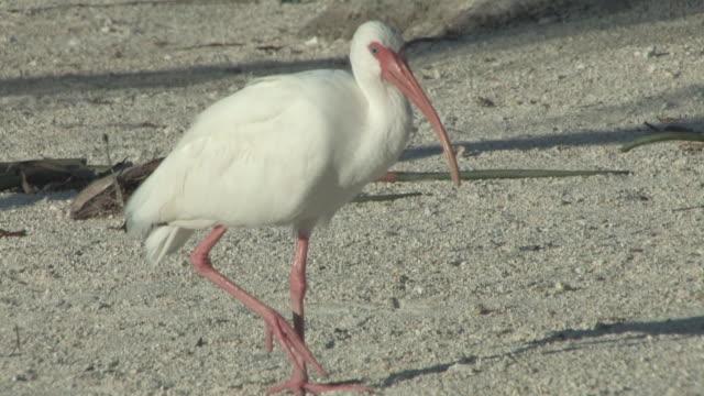 Walking ibis 2 - HD 30F video
