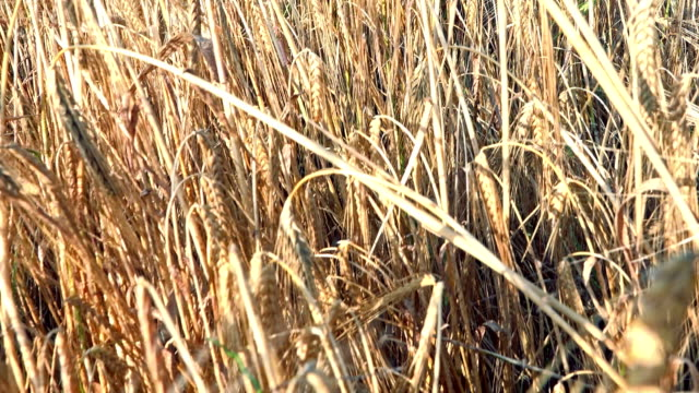 POV Walking in Wheat, Running in Harvest Field, Agriculture, Farming, Cereals video