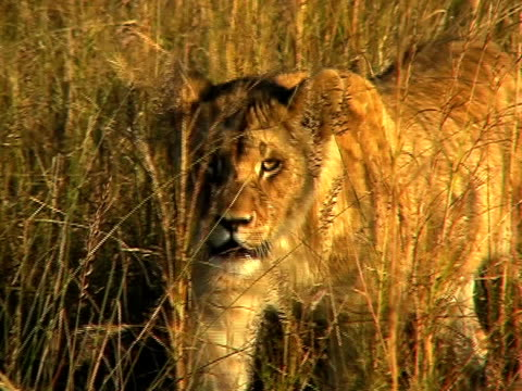 Walking lioness video