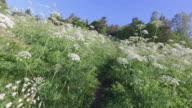 Walking on a meadow pathway between yarrow. video