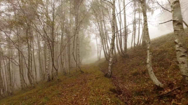 Walking outdoor thru birch trees in woods forest with bad weather fog overcast day. 4k POV forward nature shot video