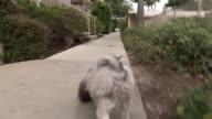 (HD1080I) Walking Puppy: Dog POV / Point of View video