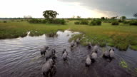 Walking though african waters video