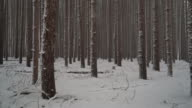 Walking through a forest of tall pines in the winter as fresh snow falls.  Ronin Stabilized video
