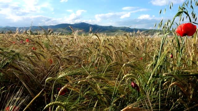 walking through field of wheat video