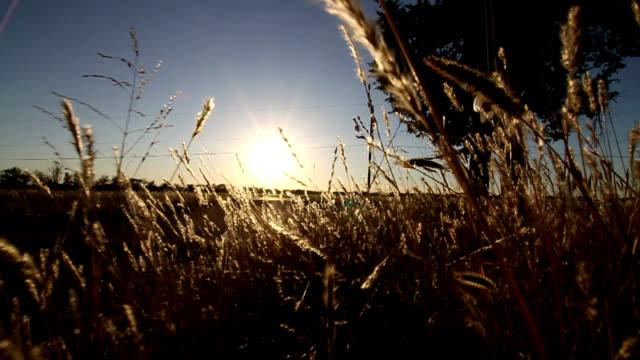 Walking Through Wheat Field at Sunset video