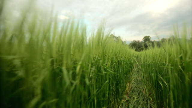 HD: Walking Through Wheat Field video