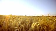 Walking Through Wheat Field video