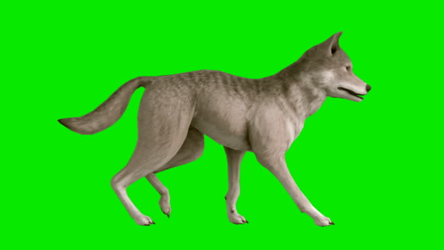 Walking Wolf Green Screen (Loopable) video