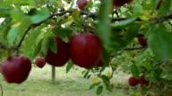 HD: Walkthrough an apple orchard. video