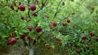 HD: Walkthrough an apple orchard. video