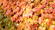 Wall of autumn leaves video