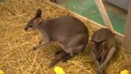 Wallaby or Mini Kangaroo video