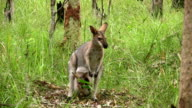 Wallaby with Joey video