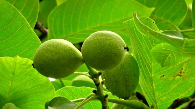 walnut tree - close up video
