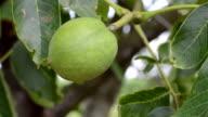 Walnut tree. video