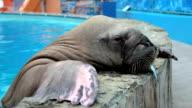 walrus eats fish video
