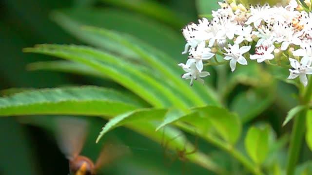 Wap hornet video