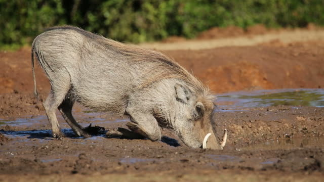 Warthog drinking water video