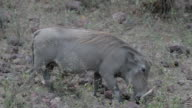 warthog searching for food video