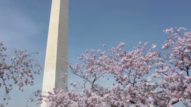Washington Monument and cherry blossoms video