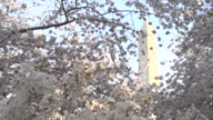 Washington Monument Behind Cherry Blossoms video