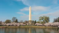 Washington monument during the Cherry Blossom Festival video